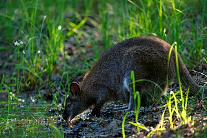 Red-necked wallaby (Macropus rufogriseus) female drinking. Wallaby population naturalised after escaping from an animal park. Rambouillet forest, France. May.  -  Cyril Ruoso