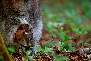 Red-necked wallaby (Macropus rufogriseus) joey in mother's pouch. Wallaby population naturalised after escaping from an animal park. Rambouillet forest, France. May.  -  Cyril Ruoso