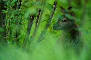 Red-necked wallaby (Macropus rufogriseus) male in woodland. Wallaby population naturalised after escaping from an animal park. Rambouillet forest, France. May.  -  Cyril Ruoso