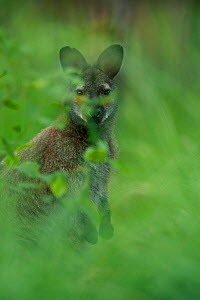 Red-necked wallaby (Macropus rufogriseus) male viewed through vegetation, portrait. Wallaby population naturalised after escaping from an animal park. Rambouillet forest, France. May.  -  Cyril Ruoso
