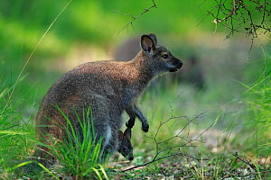 Red-necked wallaby (Macropus rufogriseus) female with joey in pouch. Wallaby population naturalised after escaping from an animal park. Rambouillet forest, France. June.  -  Cyril Ruoso