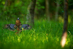 Reeve's pheasant (Syrmaticus reevesii) male displaying amongst trees. Rambouillet forest, France. May.  -  Cyril Ruoso