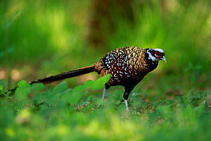Reeve's pheasant (Syrmaticus reevesii) male. Rambouillet forest, France. May.  -  Cyril Ruoso