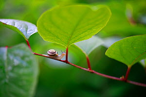 White-lipped snail (Cepaea hortensis) on invasive Japanese knotweed (Fallopia japonica). Burgundy, France. June.  -  Cyril Ruoso
