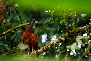 Great curassow (Crax rubra) female roosting, perched on branch in tropical rainforest. Golfito, Costa Rica.  -  Cyril Ruoso