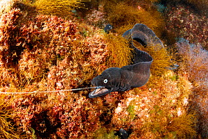 Dotted moray (Muraena augusti) with mouth caught on hook, with others moray watching. Formigas Islet dive site, near Santa Maria Island, Azores, Portugal, Atlantic Ocean  -  Franco Banfi