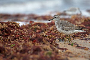 Knot (Calidris canutus) juvenile, Norfolk, England, UK. October.  -  Robin Chittenden