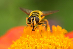 Hoverfly (probably Myathropa florea) on Mexican sunflower, (Tithonia spp.) garden, Bristol, UK, July.  -  John Waters