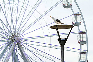 Adult Lesser black-backed gull (Larus fuscus) perched on lamp post and calling with ferris wheel in background. Bristol city's harbourside area, UK, July 2020  -  John Waters