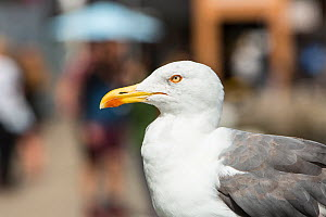 Lesser black-backed gull (Larus fuscus) perched, Bristol city central area, UK, August.  -  John Waters