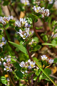 Danish scurvygrass (Cochlearia danica) on road verge. Surrey, England, UK. March.  -  Linda Pitkin