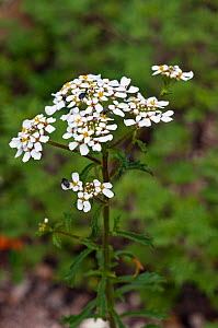 Wild candytuft (Iberis amara). Priest Hill Surrey Wildlife Trust Reserve, England, UK. June.  -  Linda Pitkin