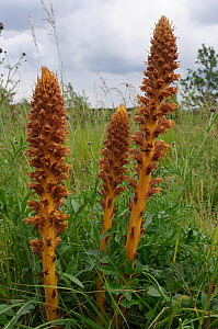 Knapweed broomrape (Orobanche elatior). Epsom Downs, Surrey, England, UK. June.  -  Linda Pitkin