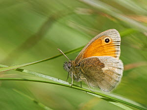 Small Heath butterfly (Coenonympha pamphilus) sunning on grasses in a chalk grassland meadow, Wiltshire, UK, May.  -  Nick Upton