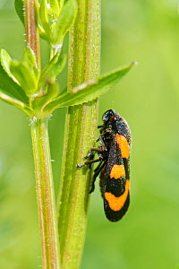 Black and red froghopper (Cercopis vulnerata) sunning on a Bedstraw stem in a meadow, Wiltshire, UK, May.  -  Nick Upton