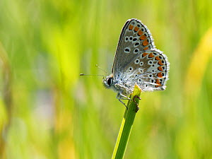 Brown argus butterfly (Aricia agestis) sunning in a chalk grassland meadow, Wiltshire, UK, May.  -  Nick Upton