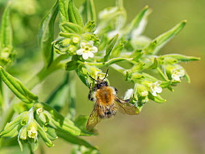 Common carder bumblebee (Bombus pascuorum) nectaring on Common gromwell (Lithospermum officinale) flowers on a chalk grassland slope, Bath and North-east Somerset, UK, May.  -  Nick Upton