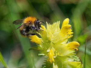 Common carder bumblebee (Bombus pascuorum) nectaring on Yellow rattle (Rhinanthus minor) flowers in a chalk grassland meadow, Wiltshire, UK, May.  -  Nick Upton