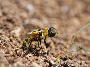 Downland villa bee fly (Villa cingulata) rubbing the tip of her abdomen in loose soil by a rabbit burrow to fill her sand chamber, where eggs are coated in sand, chalk grassland slope, near Bradford o...  -  Nick Upton