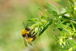 Early bumblebee (Bombus pratensis) nectaring on Common gromwell (Lithospermum officinale) flowers on a chalk grassland slope, Bath and North-east Somerset, UK, May.  -  Nick Upton