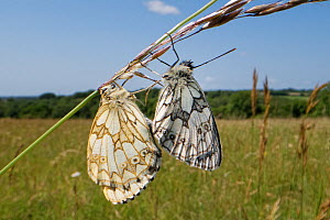 Marbled white butterfly (Melanargia galathea) pair mating on a grass stem, female on the left, male on the right, Wiltshire, UK, June.  -  Nick Upton