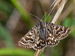 Mother Shipton moth (Callistege mi) with wing patterns resembling the profile of a witch's face, resting on grass flowers in a chalk grassland meadow, Wiltshire, UK, May.  -  Nick Upton
