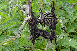 Peacock butterfly (Inachis io) newly emerged caterpillars feeding in a dense group on Common nettle (Urtica dioica) leaves with remains of silk tents they hatched from visible, Wiltshire, UK, June.  -  Nick Upton