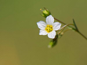 Fairy flax (Linum catharticum), close up. Great Cheverell Hill SSSI, Salisbury Plain, Wiltshire, England, UK. May.  -  Nick Upton