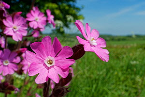 Red campion (Silene dioica). Wiltshire, England, UK. May.  -  Nick Upton