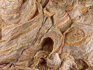 German wasp (Vespula germanica) nest surface built from layers of chewed wood fibres. Wiltshire, England, UK. July.  -  Nick Upton