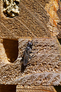 Aphid wasp (Pemphredon sp) female inspecting potential nest site in insect hotel. Wiltshire, England, UK. May.  -  Nick Upton