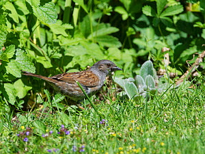 Dunnock (Prunella modularis) foraging for insects on garden lawn. Wiltshire, England, UK. June.  -  Nick Upton