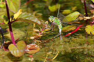 Emperor dragonfly (Anax imperator) female ovipositing whilst standing on pond vegetation. Wiltshire, England, UK. May.  -  Nick Upton