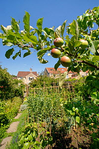 Organic suburban garden with Apple (Malus domestica) tree in foreground, vegetables growing in beds iinclude Broad bean (Vicia faba), Lettuce (Lactuca sativa) and Kale (Brassica oleracea). Houses in b...  -  Nick Upton