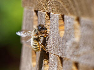 Red mason bee (Osmia rufa) female carrying ball of mud to seal brood cell, arriving at insect hotel. Wiltshire, England, UK, May.  -  Nick Upton