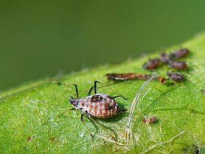 Masked oxeye aphid (Macrosiphoniella subterranea) wingless adult and nymphs of this very rare species in the UK on an Oxeye daisy / Marguerite (Leucanthemum vulgare) leaf, RSPB Ham Wall, Somerset, UK,...  -  Nick Upton