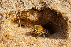 Hairy-saddled Colletes bee (Colletes fodiens) emerging from its nest burrow in a sandy bank, Merthyr Mawr National Nature Reserve, Glamorgan, Wales, UK, September.  -  Nick Upton
