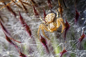 Crab spider (Xysticus cristatus) waiting for insect prey on a Woolly thistle (Cirsium eriophorum) flowerhead in a chalk grassland meadow, Wiltshire, UK, August.  -  Nick Upton