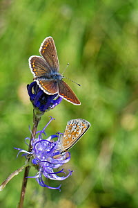 Brown argus (Aricia agestis) male and female nectaring on a Round-headed rampion (Phyteuma orbiculare) flower on a chalk grassland down, near Calne, Wiltshire, UK, July.  -  Nick Upton