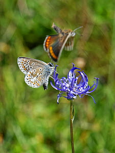Brown argus (Aricia agestis) male courting a female by flying around a female as she nectars on a Round-headed rampion (Phyteuma orbiculare) flower on a chalk grassland down, near Calne, Wiltshire, UK...  -  Nick Upton