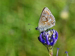 Brown argus butterfly (Aricia agestis) nectaring on a Round-headed rampion (Phyteuma orbiculare) flower on a chalk grassland down, near Calne, Wiltshire, UK, July.  -  Nick Upton