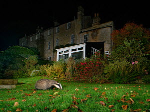 European badger (Meles meles) foraging on a garden lawn at night, Wiltshire, UK, October. Property released.  -  Nick Upton
