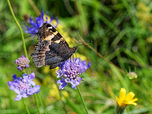 Small tortoiseshell butterfly (Aglais urticae) nectaring on a Small scabious (Scabiosa columbaria) flower on a chalk grassland slope, Bath and Northeast Somerset, UK, July.  -  Nick Upton