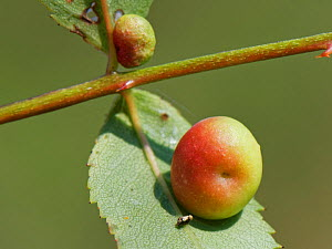 Smooth rose pea gall caused by a Cynipid gall wasp (Diplolepis nervosa or Diplolepis eglanteriae) on Dog rose (Rosa canina) stem in a chalk grassland meadow, Wiltshire, UK, September.  -  Nick Upton