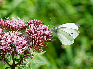 Small white butterfly (Pieris rapae) nectaring on Hemp agrimony (Eupatorium cannabinum) flowers in a woodland ride, Catcott Lows National Nature Reserve, Somerset, UK, September.  -  Nick Upton