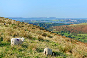 Domestic sheep (Ovis aries) grazing hillside overlooking the River Loughor and the Gower Peninsula, Felindre, Glamorgan, Wales, UK, September.  -  Nick Upton
