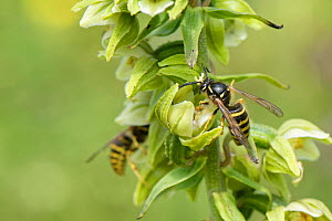 Saxon wasp (Dolichovespula saxonica) with a pollinia on its head nectaring from a Broad-leaved helleborine (Epipactis helleborine) flower on a woodland margin, Bath and Northeast Somerset, UK, July. T...  -  Nick Upton