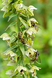 Saxon wasps (Dolichovespula saxonica) nectaring from Broad-leaved helleborine (Epipactis helleborine) flowers on a woodland margin, Bath and Northeast Somerset, UK, July. This plant produces opioids a...  -  Nick Upton