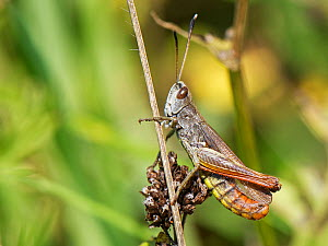 Rufous grasshopper (Gomphocerippus rufus) male, a nationally scarce species in the UK with distinctive white-tipped antennae, resting on a plant stem on a south facing chalk grassland slope, near Brad...  -  Nick Upton