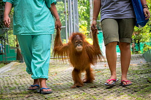 Keepers holding hands of infant Sumatran orangutan (Pongo abelii) as they walk to 'forest school' ,Quarantine centre of SOCP (Sumatran Orangutan Conservation Program) near Medan, North Sumatra  -  Maxime Aliaga